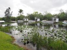Everglades_471